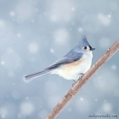 "Fine Art Bird Photography Print ""Tufted Titmouse in Snow No. 3"""