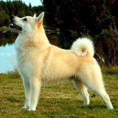 Norwegian Buhund::A breed of dog of the Spitz type. It is closely related to the Icelandic Sheepdog and the Jämthund. An all-purpose farm and herding dog, as well as an excellent watch dog.