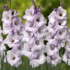 Gladiolus 'Seedling 10-090-02' - Pheasant Acre Plants UK