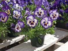 Trailing Pansy Seeds Wonderfall Blue Picotee Shades 100 bulk flower seeds
