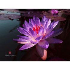 Nymphaea Siam Purple1. บัวฝรั่งสีม่วงในตำนาน #waterlilys #ระเบียงชะนี #ที่นักปรุบปรุงพันธ์ุพยายามทำกันมานับร้อยปี #Nymphaea