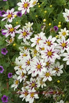Coreopsis Star Cluster - hardy, long blooming sun perennial