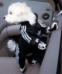 Caninche dans un tracksuit adidas