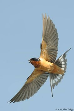 Fantastic image of a Barn Swallow in flight by James Vellozzi.