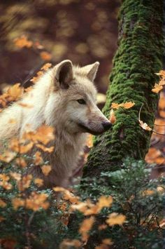 """""""We humans fear the beast within the wolf because we do not understand the beast within ourselves."""" - Gerald Hausman"""