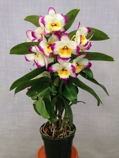 https://flic.kr/p/n9SmUf | Dendrobium Lucky Angel 'Smash' (Holy Night x Eilen Beauty) | Flower - 2 inches Plant - 16 inches with pot