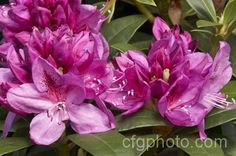 Rhododendron Anah Kruschke...oh how I love my anah....it is distinctly purple when it blooms in my garden...