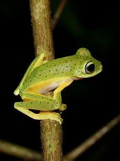 Loka flying Frog (Rhacophorus monticola)