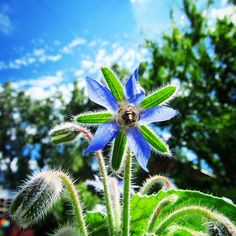 With the rising sun my #borage has opened! Finally! I grew this from seed, #botanical_interests are awesome! @botanical_interests thank you again for always having fantastic seeds.