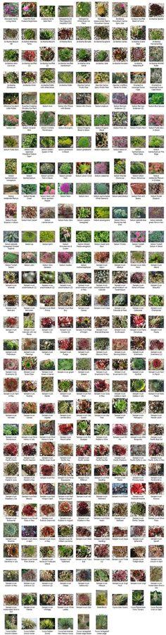 Gráfico suculenta identificação & Informação crescendo, zonas de clima, condições, etc., para uma grande variedade de plantas suculentas