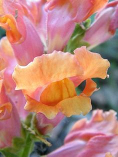 Peachy Pink Snapdragon (Photo by Mary Sedivy).such amazing colors! Green Life, Go Green, Flower Photos, Flowers Pics, Pink Flowers, Trees To Plant, Planting Flowers, Beautiful Flowers, Bloom