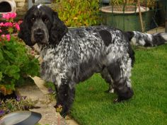 Grooming English Cocker Spaniels | 4 Paws Dog and Cat Grooming ...