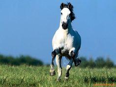 HerbWeb Horses A Galloping Horse