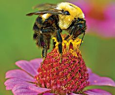 Buzz On! Tips for Making Bees Feel Welcome : The Humane Society of the United States