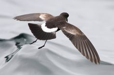 3944. Elliot's Storm-Petrel (Oceanites gracilis)   the Humboldt Current off Peru, Chile, the waters around the Galapagos Islands