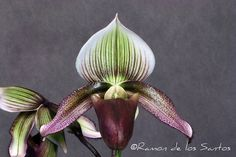 Paph. superbiens var. curtisii | Flickr : partage de photos !
