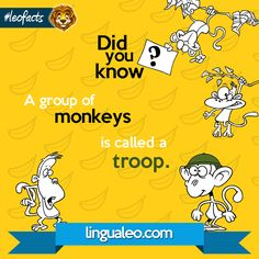 Qual é o coletivo de MACACO? A groups of monkeys is a...