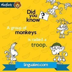 Qual é o coletivo de MACACO? A groups of monkeys is a...