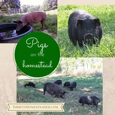 The Thrifty Homesteader: 4 reasons to add pigs, hogs to your homestead, homesteading, getting started, which breed, benefits of, Tamworths, piglets, meat, vegetarians, using whey, weaning,
