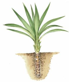 13 best all about yucca root images roots chips dandruff