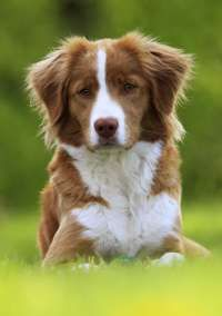 Image Search Results for nova scotia duck tolling retriever
