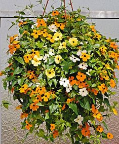 5 gorgeous climbers and creeper plants, for balcony/entrance garden! All these plants can easily climb up walls, spill out of hanging flower baskets and pots, or even grown as a houseplant. Black Eyed Susan Vine, Creepers Plants, Hanging Flower Baskets, Free Plants, Planting Flowers, Flowering Plants, Replant, Plants Online, Growing Seeds