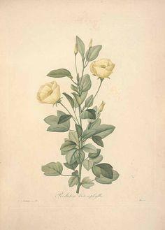 Redouté, Cienfuegosia heterophylla (Vent.) Garcke.