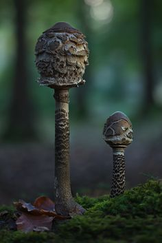 grey. gray. tall. rounded top. flakey edges. flaps. | RP » Parasol Mushroom ~ By Moonshroom