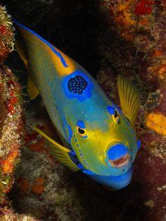 Queen angelfish (Holocanthus ciliaris)