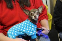 01/21/16--Sandy is an adoptable Chihuahua searching for a forever family near Oakdale, MN. Use Petfinder to find adoptable pets in your area.