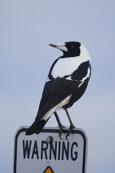 Warning: Magpie season in Spring in Australia! Big Bird, Small Birds, Pet Birds, Eurasian Magpie, Collingwood Football Club, Magpie Tattoo, Reptiles, Australia Animals, Australian Birds
