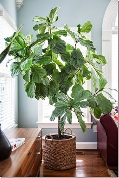 How I Care for My Fiddle Leaf Fig(Ficus Lyrata) - design addict mom Ficus, Indoor Trees, Indoor Plants, Plantas Indoor, Baumgarten, Fiddle Leaf Fig Tree, Decoration Plante, Pot Plante, Interior Plants