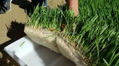 Agri GreenGrow - Benefits of Green Fodder Benefit, Herbs, Make It Yourself, Green, Herb, Medicinal Plants