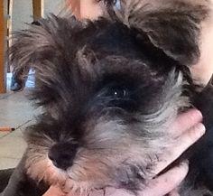 Millie  Mini schnauzer | Pawshake