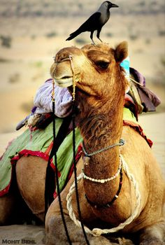 Camel...wearing the bird like a boss - Rajasthan, India