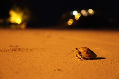 Hermit crab - A hermit crab wanders at night along the beach of Andilana, on the island of Nosy Be, Madagascar.