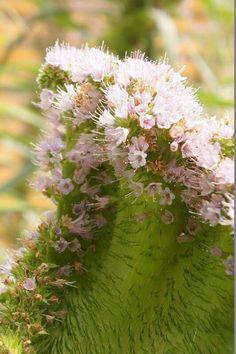 Fasciated Echium  photo @ Hamanako Garden Park