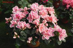 azalea indica bicolore