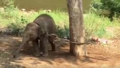 This is how they're trained to give people rides. Baby Elephant Tied To Tree Couldn't Move For A Week Elephant Ride, Baby Elephant, Majestic Animals, Mundo Animal, Cat Boarding, Being In The World, Animal Cruelty, Animal Welfare, Animal Rights