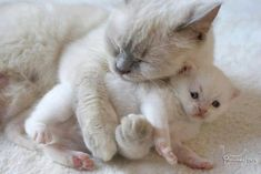 Super cute white cat mom cuddling with her tiny kitten