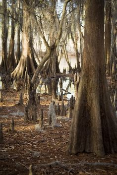 Caddo Lake State Park, near Jefferson Texas, is home to the only natural lake in Texas.