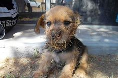 """At just eight weeks old, puppies are still exploring the world around them and curiously examine everything in their sight. However, one tiny 8-week-old border terrier mix learned the hard… Continue reading """"Rescuers Remove Hundreds Of Cactus Needles From Tiny Puppy"""""""