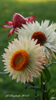 "Straw flowers II ""BRACTEANTHA "" by Silvia Sandrock"