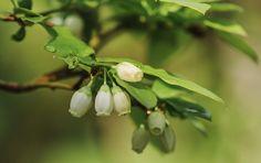 honeyberry flowers close up in spring garden