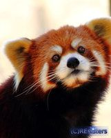 Red Panda by Lizziesphotos