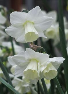 Jonquilla Narcissus 'Curlew'