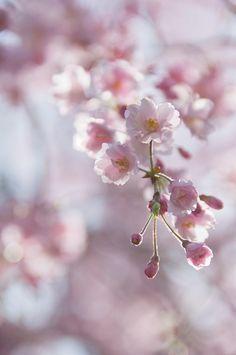 枝垂れ桜満開@近所の公園 by otarako, via Flickr
