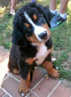 Bernese Mountain Dog.   One of my favorite dogs.  They are the CUTEST puppies ever!