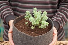 How and why you MUST plant oregano in the pot ! According to Galen, the renowned Greek physician of the Roman Empire, the green (and not dry) oregano is one of the herbs … -