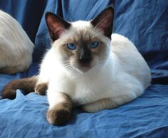 Siamese Cat, Chocolate Point. My cat growing up, his name was Haji Baba and he was my bestest friend. I still mourn his loss. Sweetest cat ever.